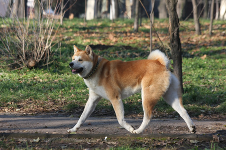 proudly: Beautiful Akita Inu proudly walking  in  public park Stock Photo