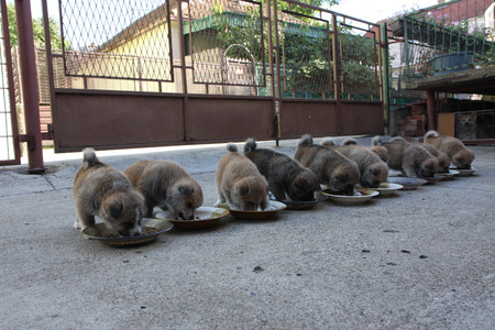 akita: Ten luscious Akita Inu puppies eating in the courtyard
