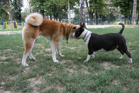 loitering: Bull Terrier and Akita Inu loitering in dog park Stock Photo
