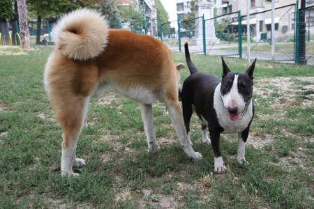 loitering: Bull Terrier and Akita Inu loitering in dog park Stock Photo
