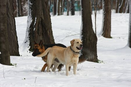 German Shepherd  and Labrador Retreiver enjoying in the forest under the snow Stock Photo