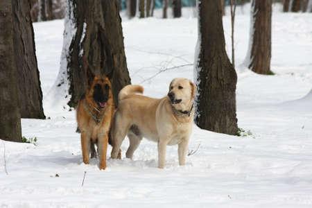 retreiver: German Shepherd  and Labrador Retreiver enjoying in the forest under the snow Stock Photo