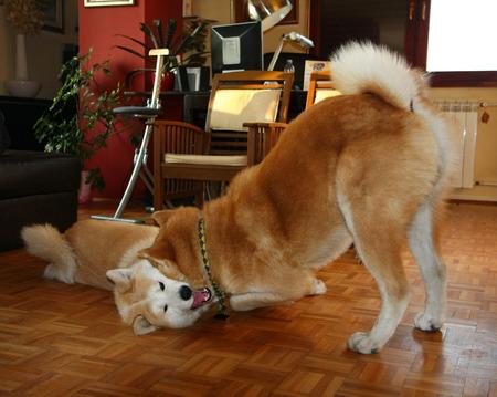 perros jugando: Bellos perros Akita Inu jugando en el piso