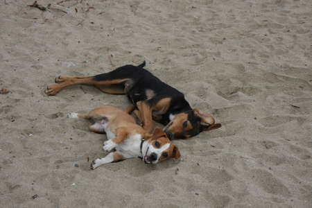 mongrel: Two mongrel dogs enjoying on the beach sand