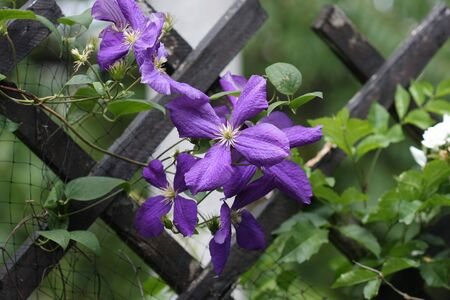 clematis: Close up of purple clematis flowers