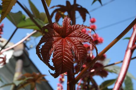 Close up of castor-oil-plant  leaves Stock Photo