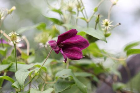 clematis flower: Close up of purple clematis flower