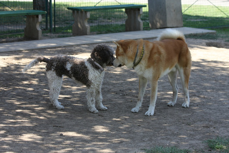 introducing: Dogs introducing each other in dog park
