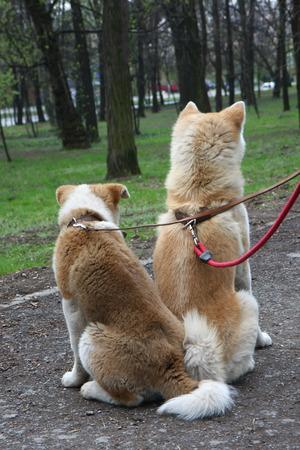 Akita inu dogs resting in public park