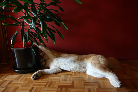Lazyl Akita Inu dog lying down on the parquet floor Stock Photo