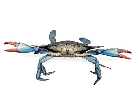 isolated photo of live blue crab in a fight pose from the Chesapeake Bay of Maryland