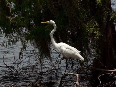 photo of a white egret on the balancing on a tree branch Reklamní fotografie