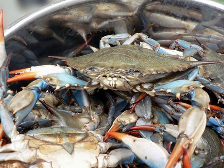 crab pots: photo of live blue crabs in a pot from the Chesapeake Bay of Maryland