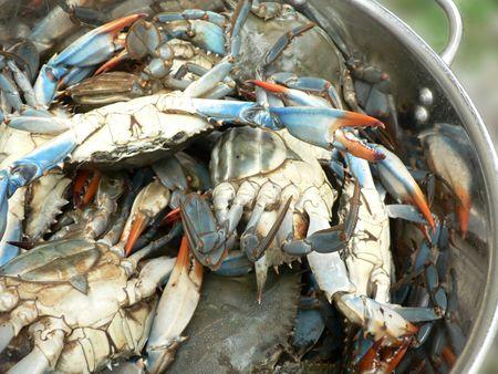 メリーランドのチェサピーク湾から鍋に生きた青カニの写真