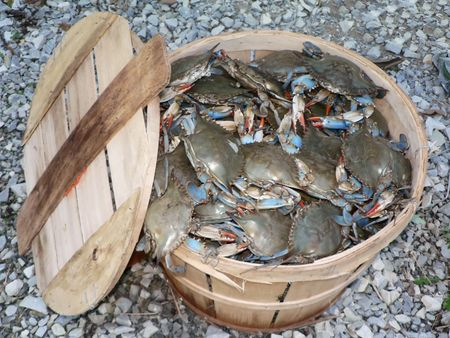 photo of a bushel basket of live blue crabs from the Chesapeake Bay of Maryland