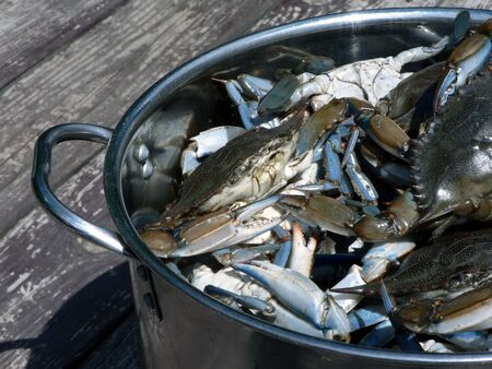 live blue crabs from the Chesapeake Bay of Maryland