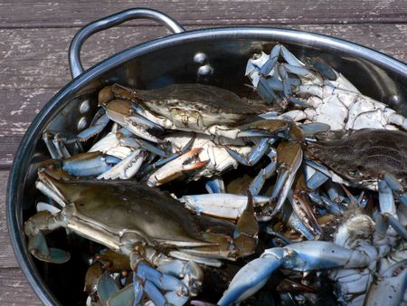 live blue crabs from the Chesapeake Bay of Maryland photo