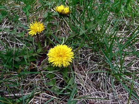 eradicate: photo of a dandelion weed  that sprouted in a yard Stock Photo