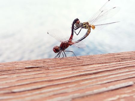 copulate: close up of two dragonflies mating on the railing of a fishing pier Stock Photo