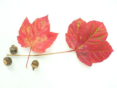 two colorful fall leaves on a white background photo