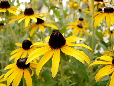 susan: photo of a bunch of black eyed susan flowers Stock Photo