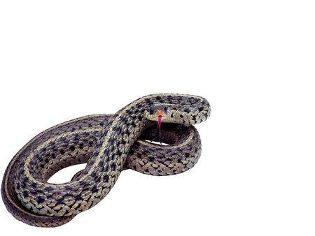 photo of a common garter snake isolated over a white background in a strike pose. includes a clipping path photo