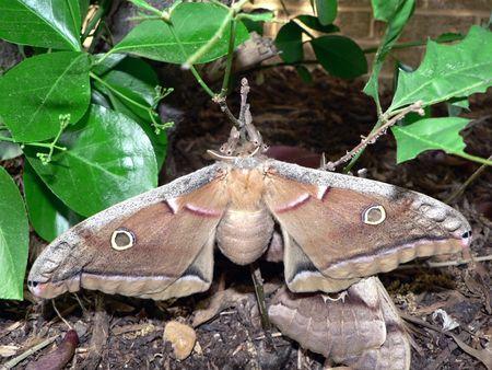 枝に迷彩の 2 つの月面蛾