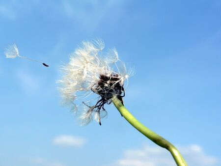 populate: photo of a dandelion blowing in the wind
