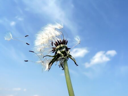 photo of a dandelion blowing in the wind