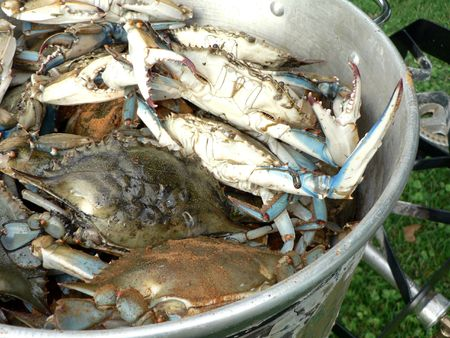 blue crab: blue crabs from the Chesapeake Bay of Maryland cooking in a pot outdoors