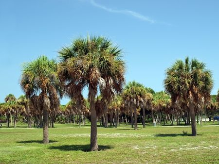 landscape of palm trees in a Florida park on Floridass Gulf Coast