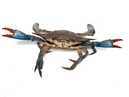 isolated photo of live blue crab in a fight pose from the Chesapeake Bay of Maryland photo