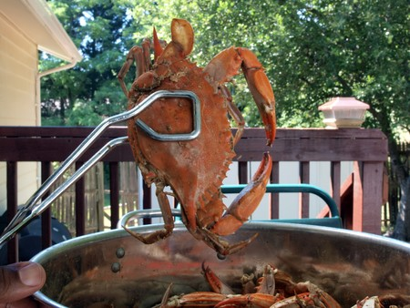 cooked blue crabs from the Chesapeake Bay of Maryland in a pot outdoors photo