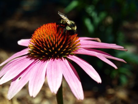 bee on flower: a bee pollenating a pink colored Coneflower basking in the sun light.