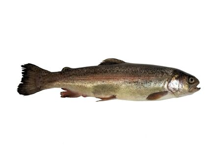 isolated photo of a Rainbow Trout on a white background