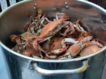 crabs: cooked blue crabs from the Chesapeake Bay of Maryland in a pot outdoors