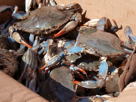 close up photo of live blue crabs from the Chesapeake Bay of Maryland in a packaging box outdoors photo