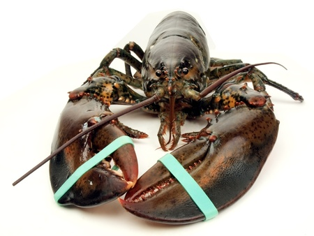 photo of a live Maine lobster viewed close up Stock Photo
