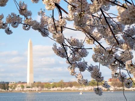 dc: fiori di ciliegio di Washington DC fioritura in primavera presso il bacino di marea