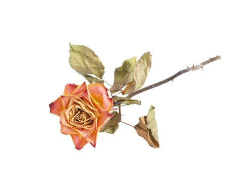 a dried rose isolated on a white colored background Stok Fotoğraf