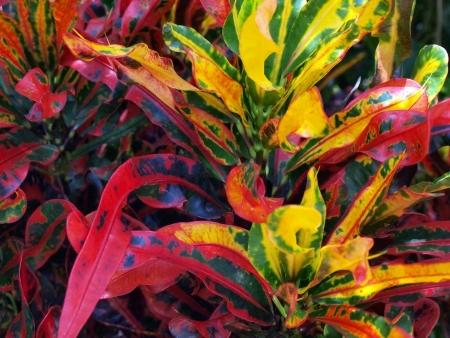 mottle: vista da vicino delle foglie di una pianta tropicale colorato