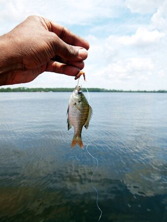 bluegill: a tiny fish caught while fishing using worm as the bait at a  lake