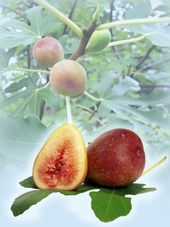 fig tree: figs on a fig tree and sitting on a fig leaf composite