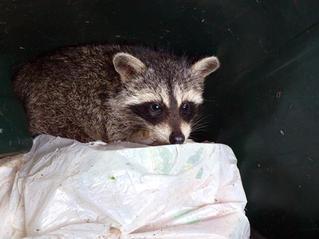 raccoon scavenging food in a trash can Stock fotó