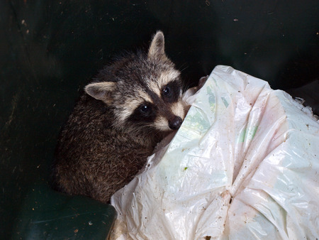 raccoon scavenging food in a trash can Stok Fotoğraf