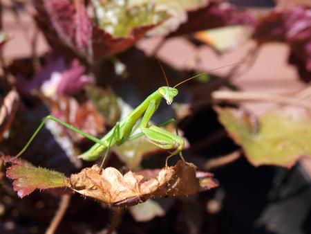 praying mantis: praying mantis balancing on a leaf