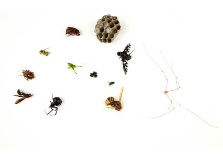 a collection of dead bugs that are common house pest like the stink bug, yellow jacket, wasp, hornet, house fly, black widow spider, jumping spider, grasshopper, and daddy longlegs