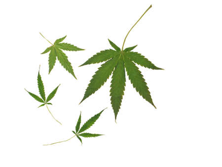 photo showing the leaves of a cannabis plant of the Indica strain isolated on a white background