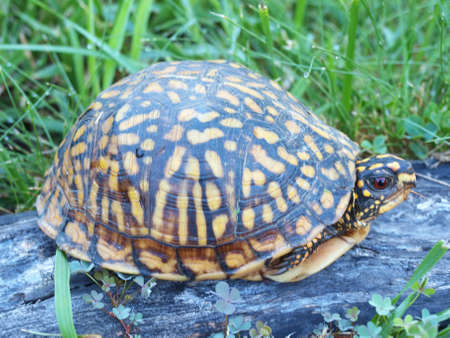 A Eastern Box Tortoise hiding in its shell for protection. Stock fotó - 152811787