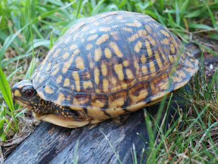 A Eastern Box Tortoise hiding in its shell for protection. Stock fotó - 152811790